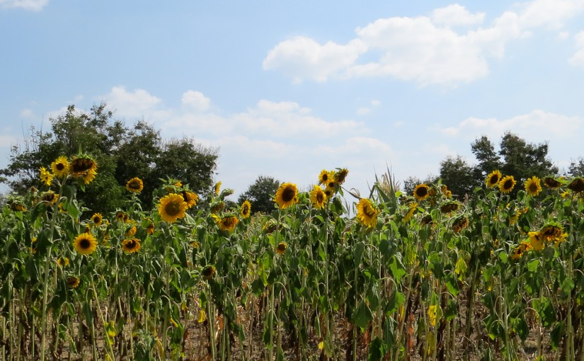 FIELDS OF SUNFLOWERS IN ARUSHA