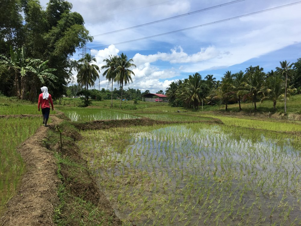 Rice fields and coconut in Paranas, Samar