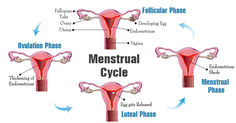 Image result for  Phases of the menstrual cycle