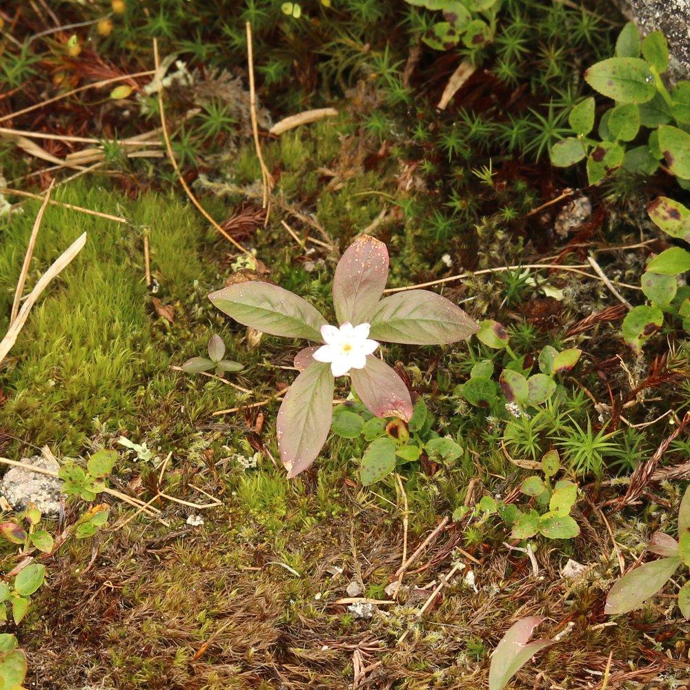 CHICKWEED WINTERGREEN Trientalis europaea