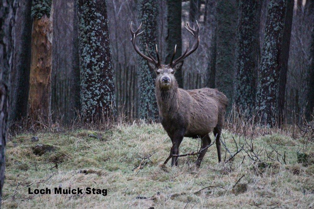 Loch Muick Stag