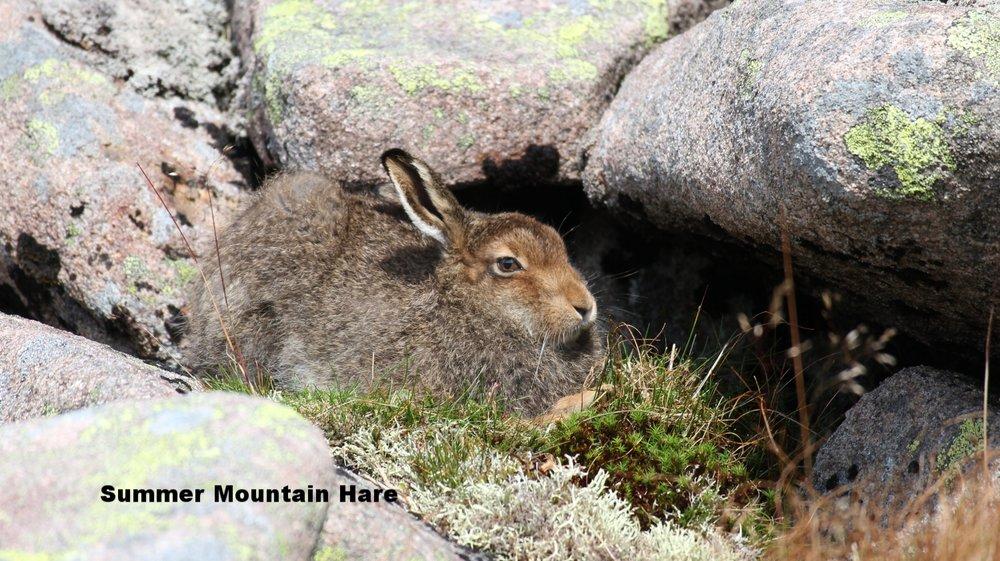 Summer Mountain Hare