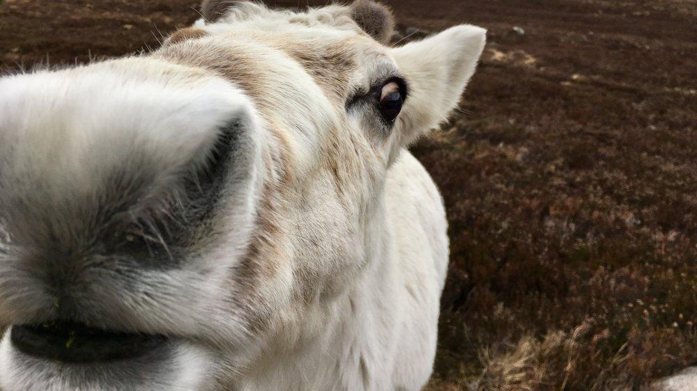 Resident Cairngorm reindeer