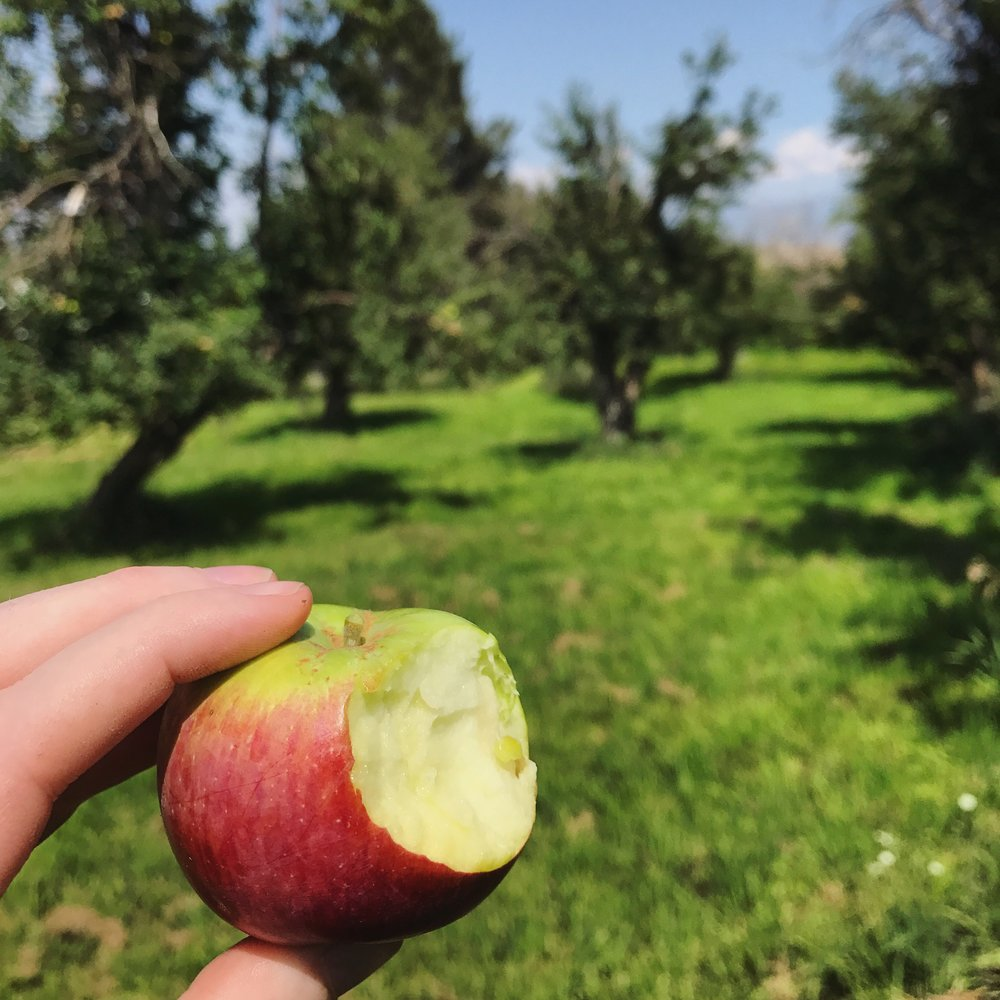Tasting the apples on our tour of a Farmstead Heritage Montana Orchard