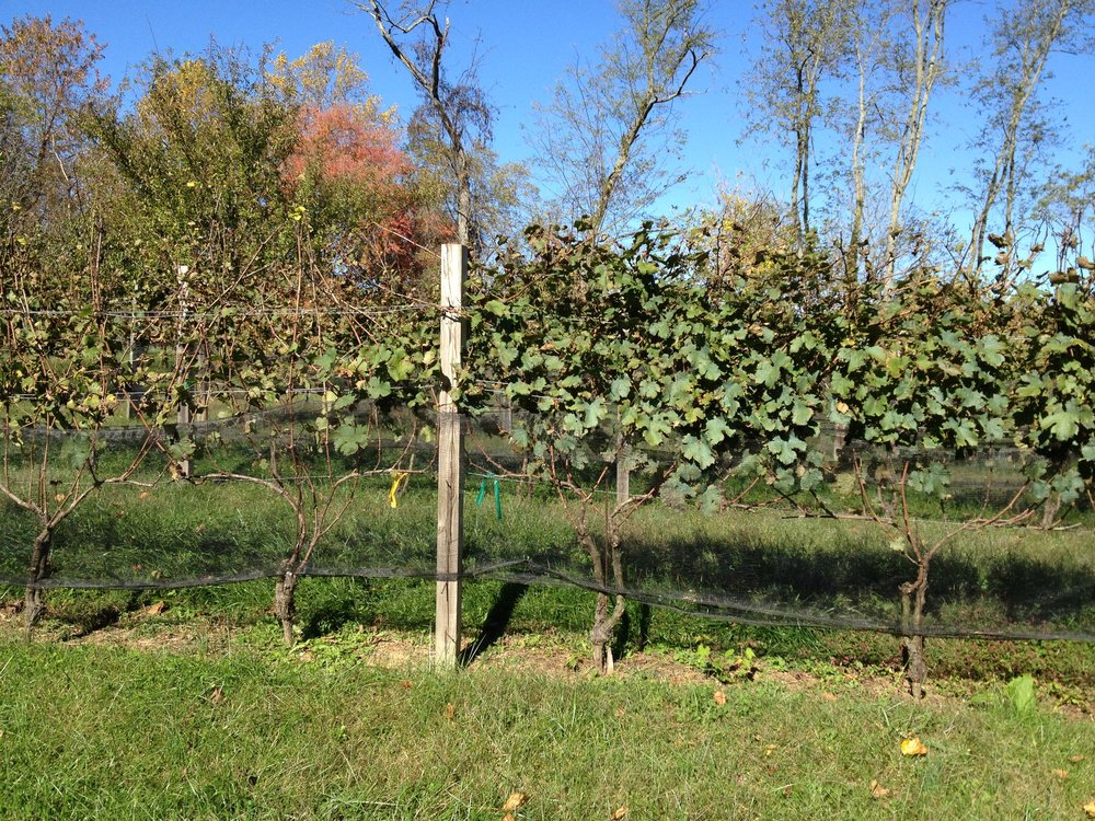 Cabernet Franc vines after the 2014 harvest in Dodon's experimental vineyard. The vines on the left, treated using standard pesticides as recommended by the extension service, defoliated following infection with Downy Mildew. The organically treated vines on the right held their leaves much longer, but note the telltale blue tint of the copper.