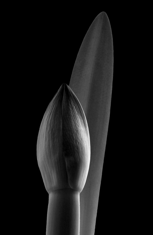 Amaryllis bud.jpg