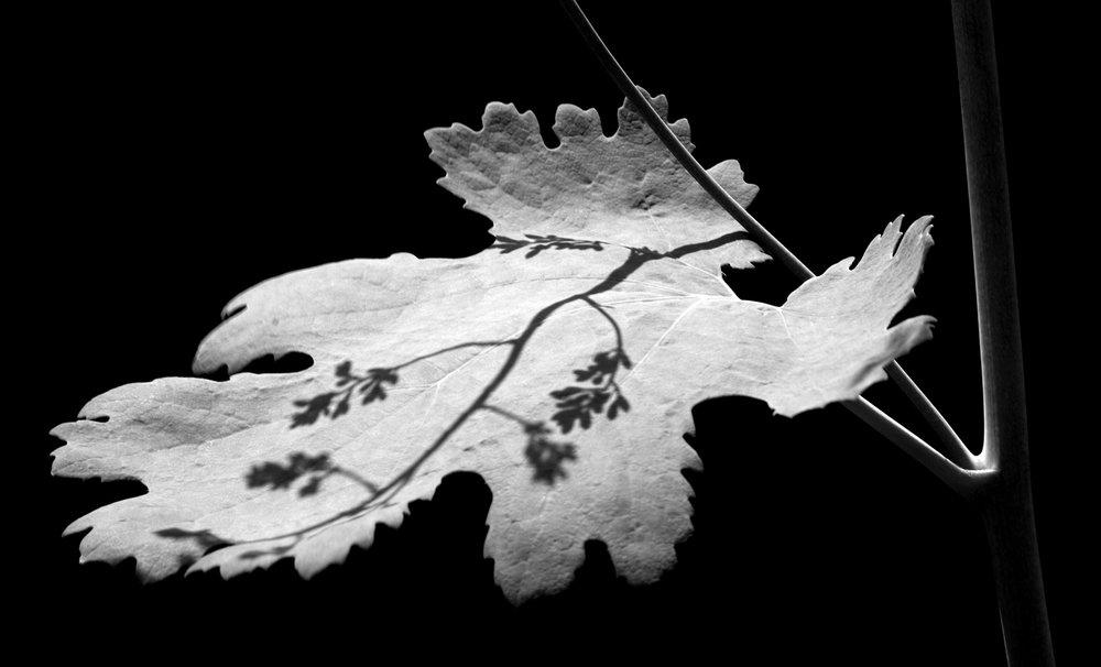leaf silhouette.jpg