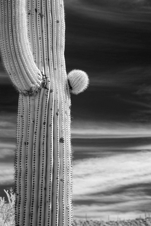 Tuczon saguaro.jpg