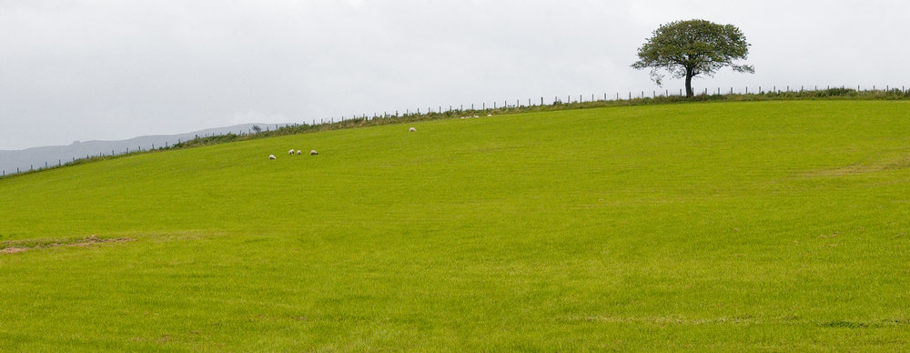 one tree sheep field.jpg