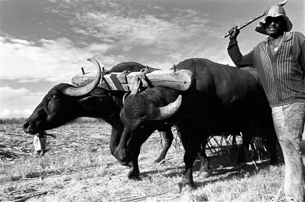 cane oxen.jpg