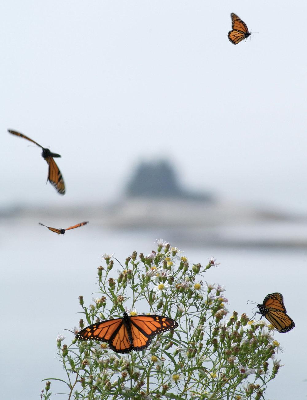 5 monarchs
