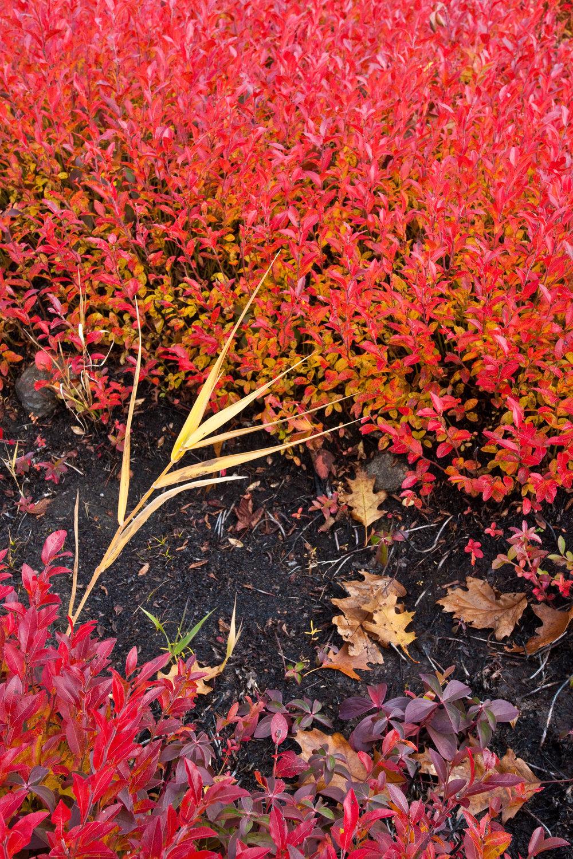 flaming low bush blueberry