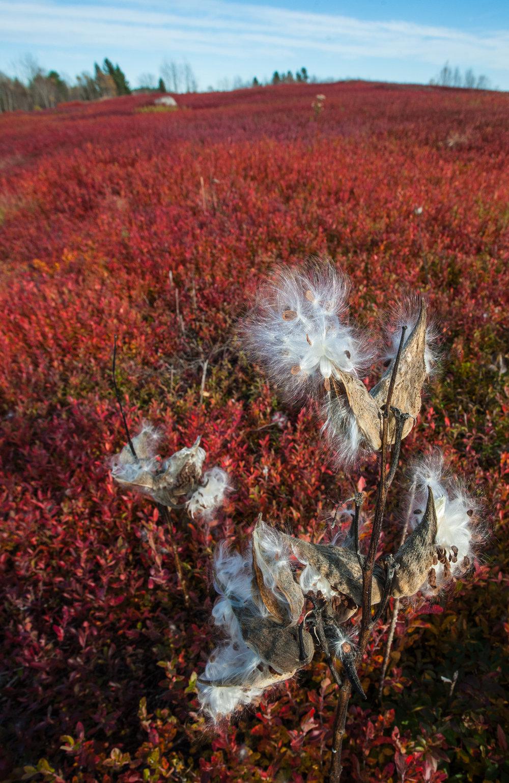 milkweed & low bush blueberries