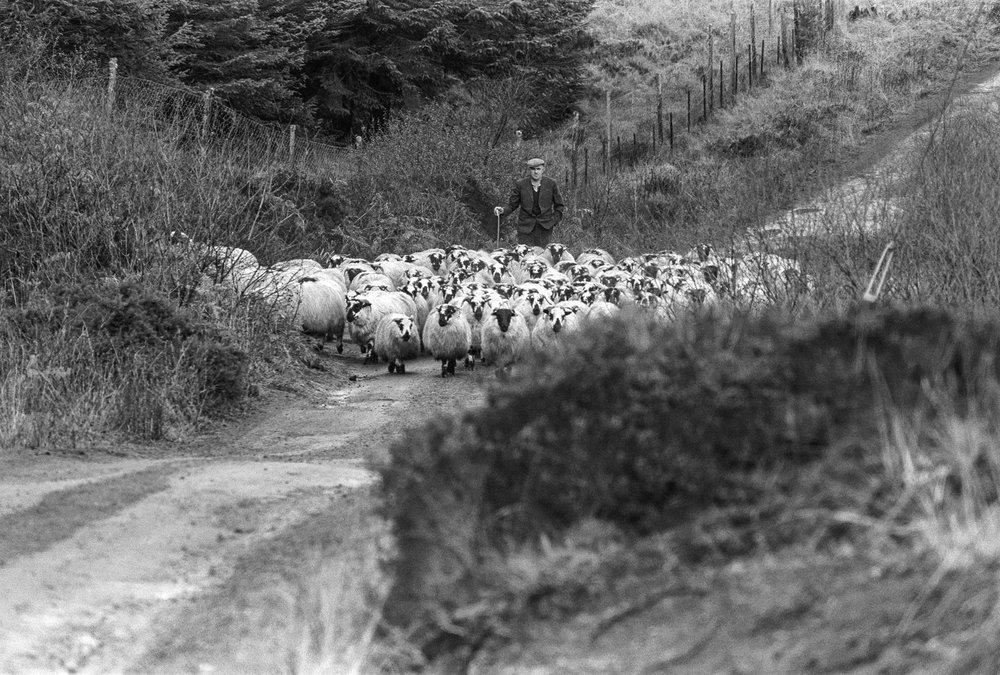 shepherd & herd.jpg