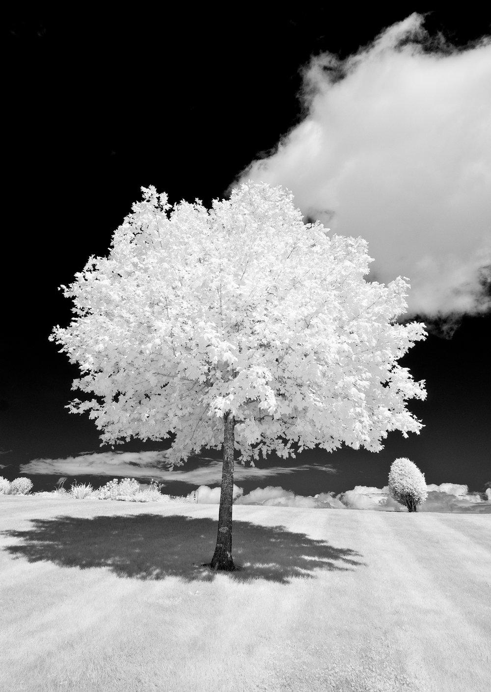 Augusta BPOE tree.jpg