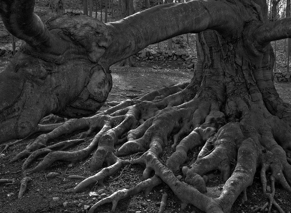 """""""Beech Tree Gremlin"""""""
