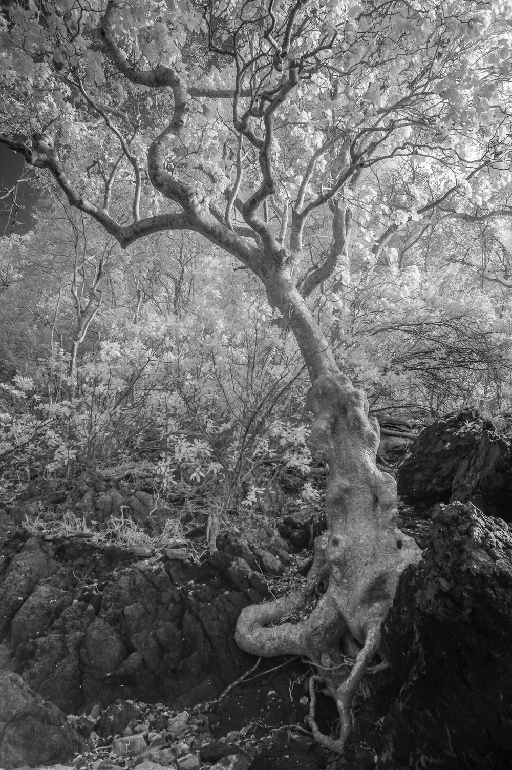 St John tree.jpg