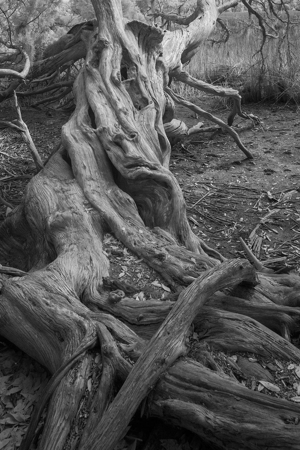 Wormsloe Cedar Face crop.jpg