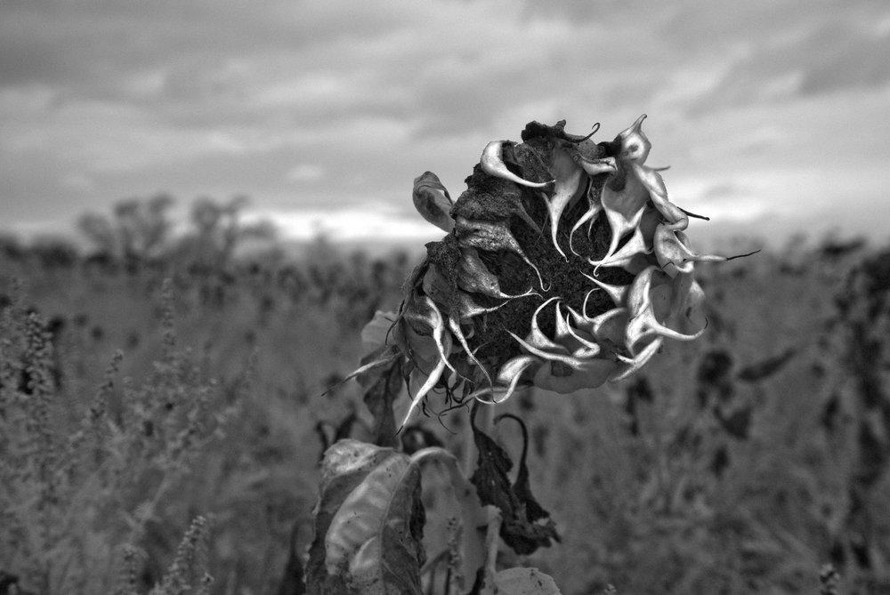 Colby Farm sunflower.jpg