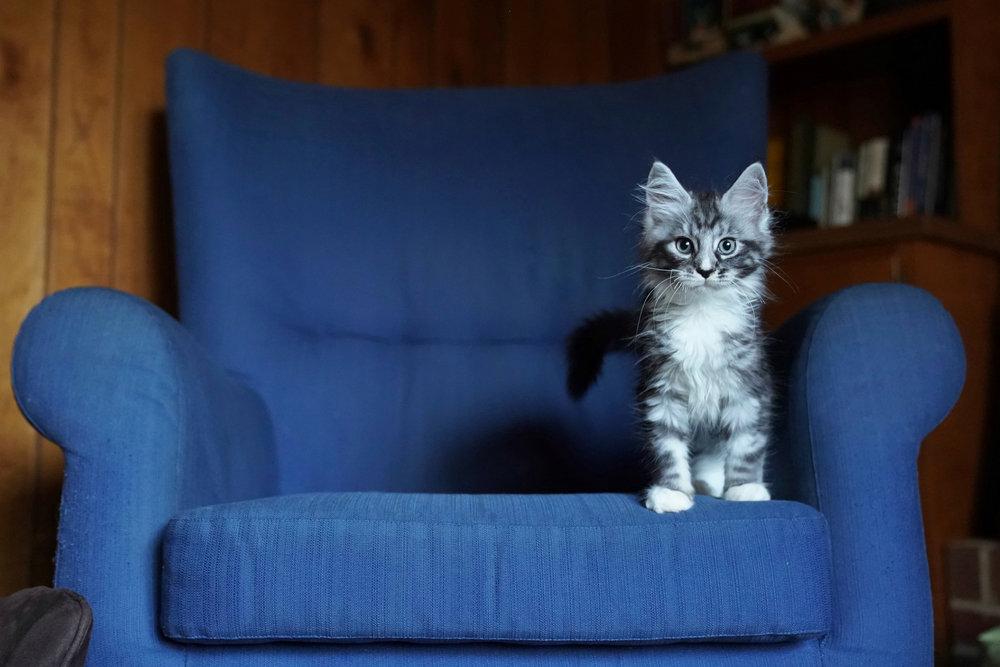 Edgar Adams Poe, the Main Coon kitten