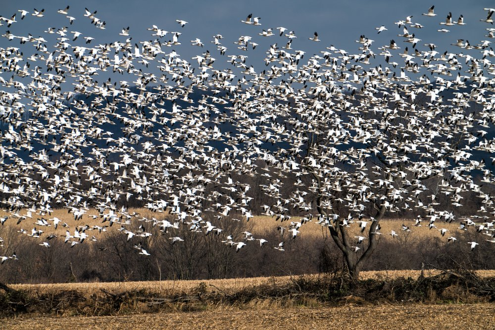 Snow geese migrating south