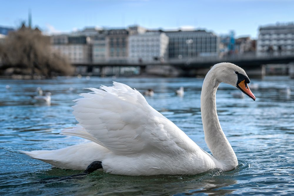 Swiss swan, Lake Geneva