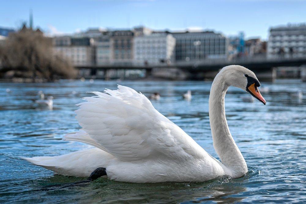 Swiss swan, Lake Geneva