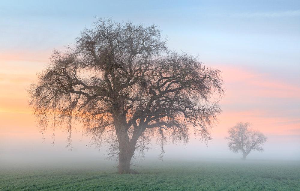 Valley Oaks in Fog