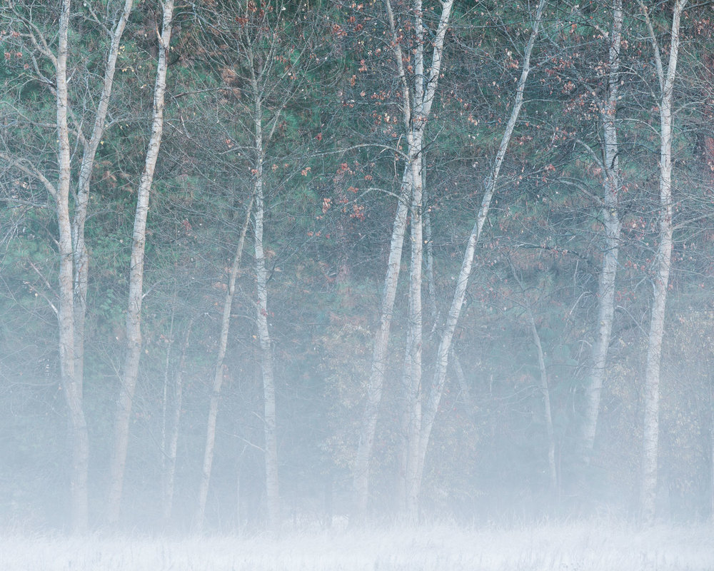 Morning Fog and Cottonwoods II