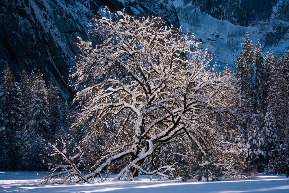 State of Grace —  The famous and final Elm tree from the original mid-19th Century planting in Cook's Meadow, resplendent in the first light of morning after a heavy snowfall.