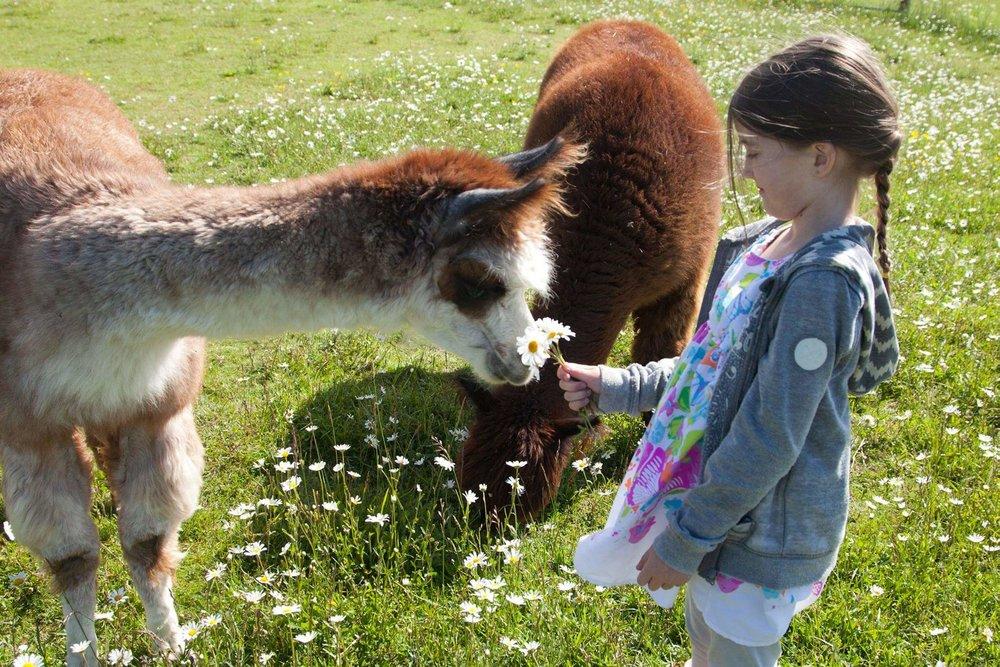 pet alpacas