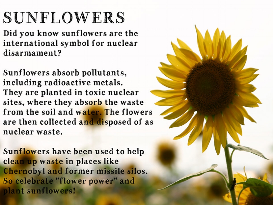SUNFLOWERS - international symbol for nuclear disarmament -