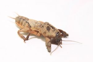 mole-cricket-87950_1280-300x200.jpg