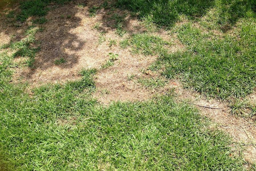 Lawn Grub Infestation