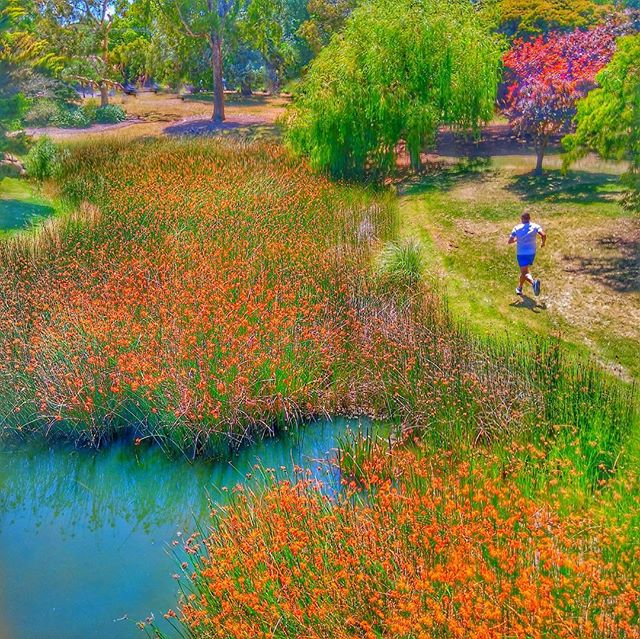 Lunch time Wonderland....shorts to match. #running #trailrunning #runshots #runhappy #seemeonmyrun #runspiration #training #fitfluential #richardbowles #strava #runningaustralia #runmelbourne #runningman #runner #run #trailrun #bayside #park #summerflowers #life #newyearnewme