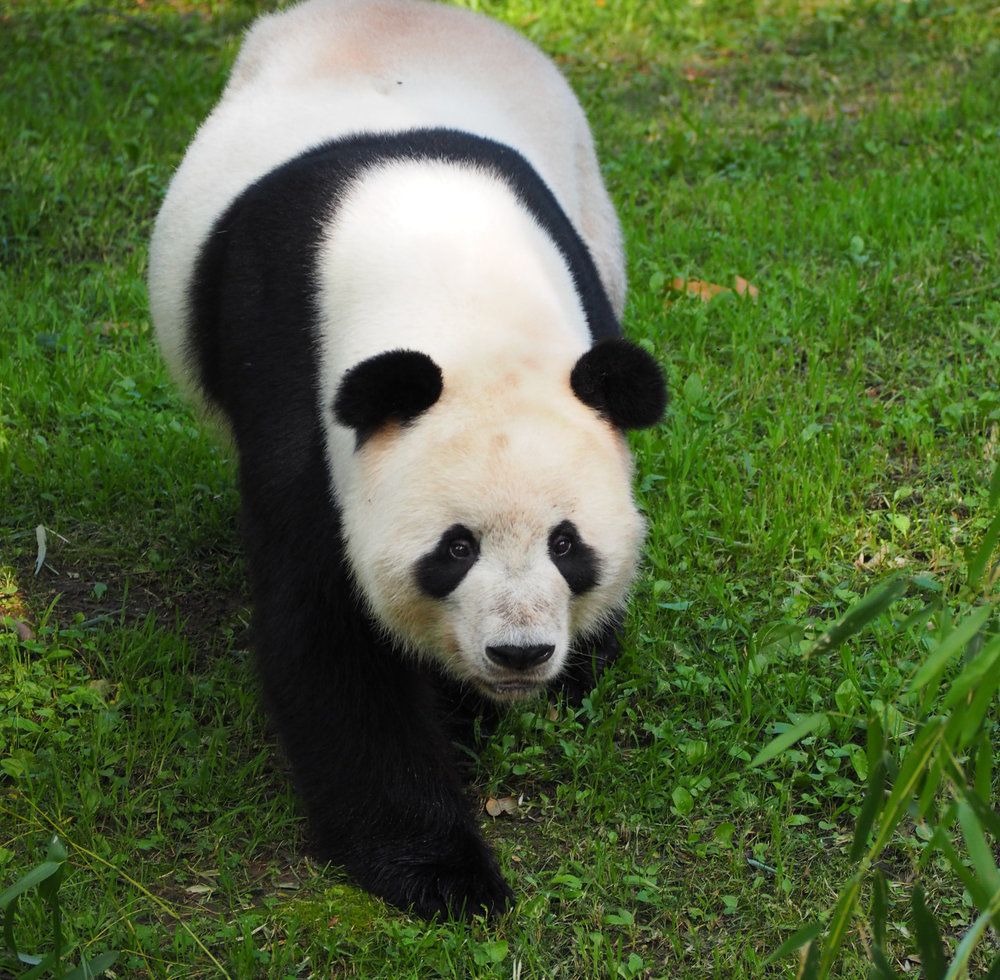 Great time with Bao Bao at Washington D.C. Zoo.