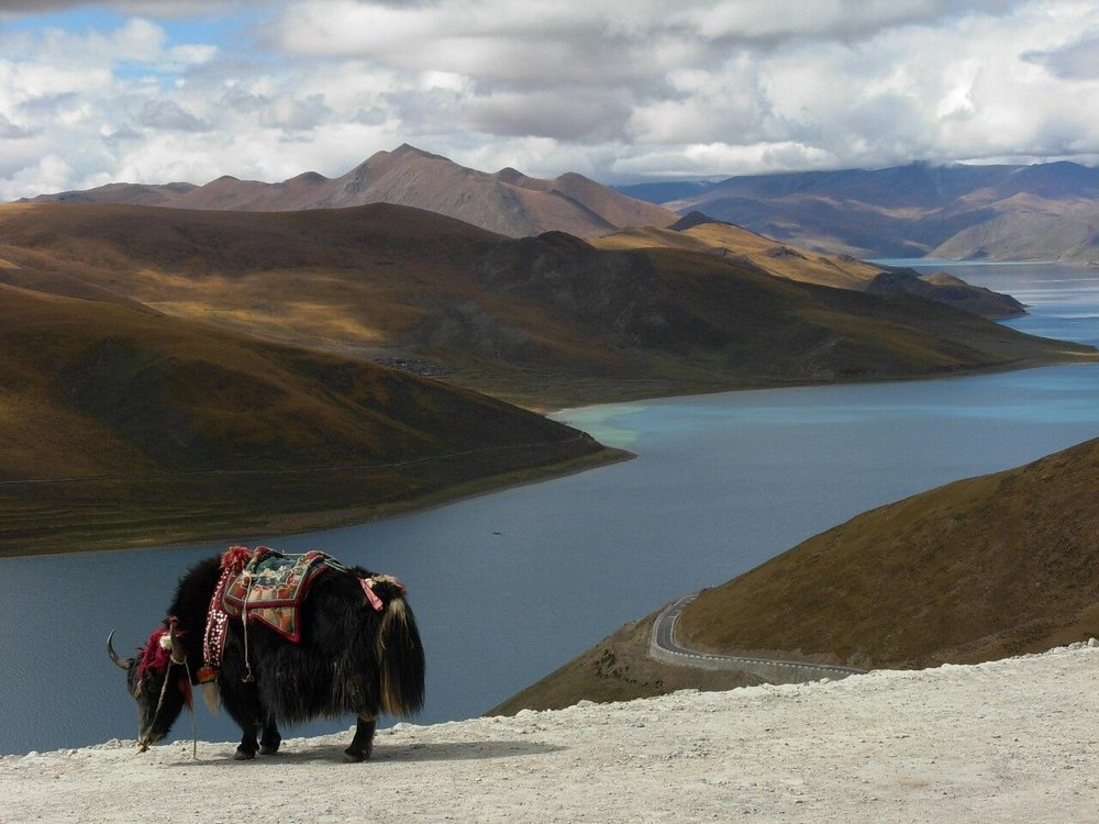 Yak on Tibetan Plateau
