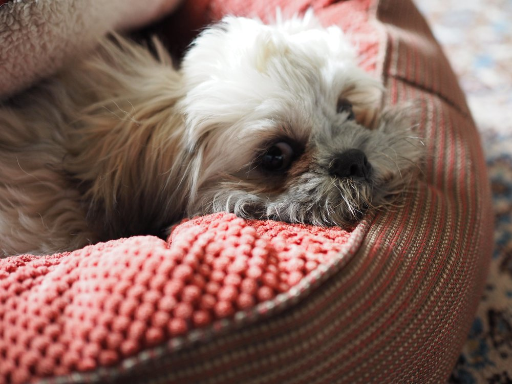 Shih Tzu in his bed