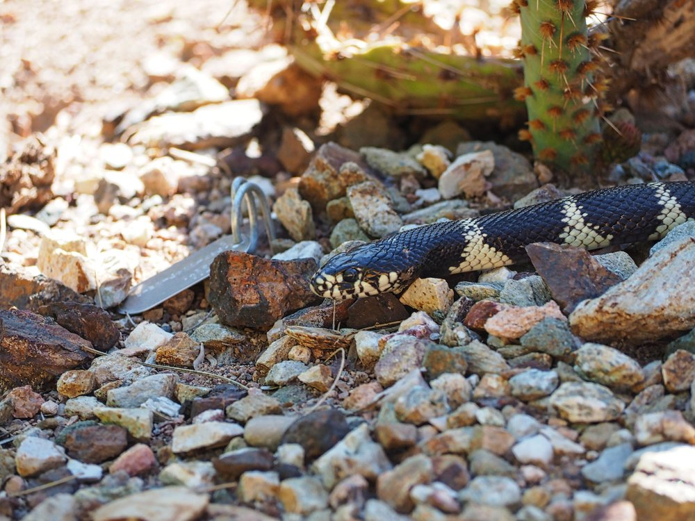 King Snake of Sonoran Desert
