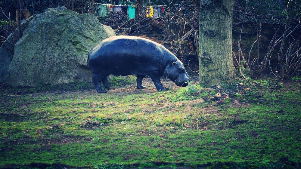 Pygmy hippos -