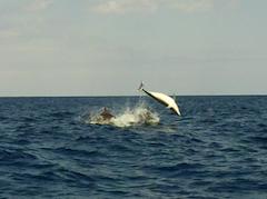 ibiza-daysailing dolphins