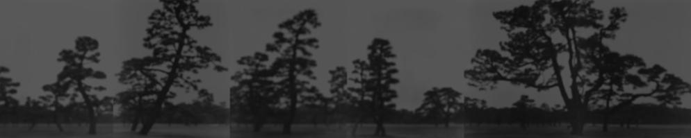 Pine Trees, 2001