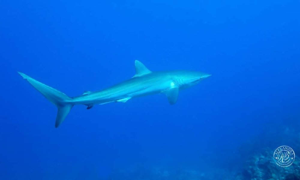 a picture taken by coconut tree divers of a silky shark in roatan, honduras.