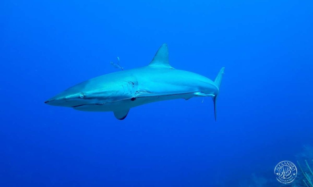 a picture taken by coconut tree divers of a reef shark in roatan honduras.
