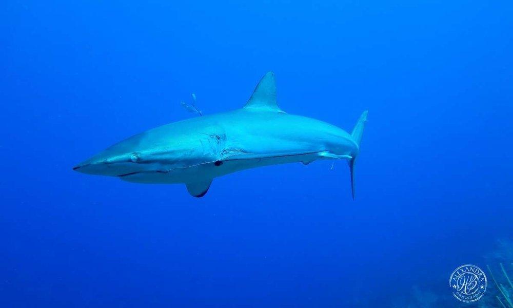 a reef shark in roatan honduras