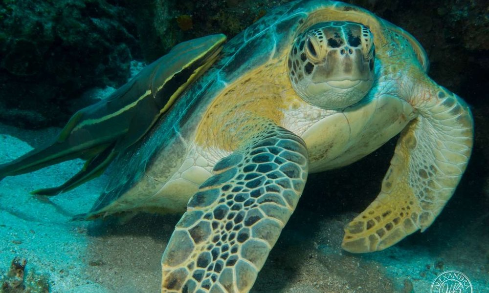a green turtle in roatan, with coconut tree divers