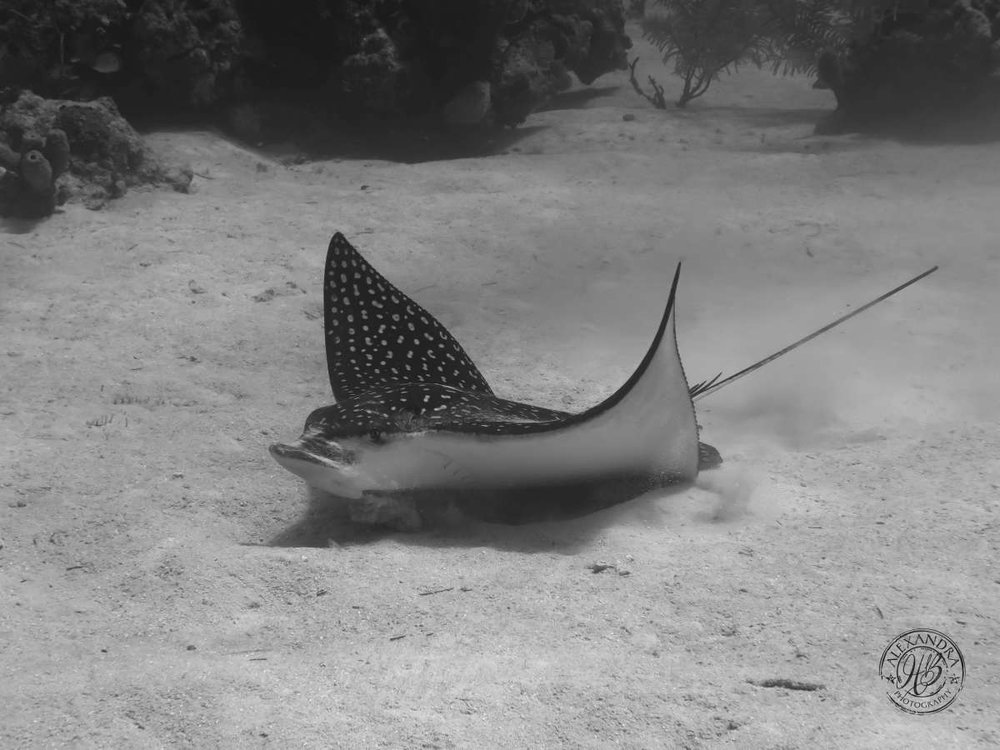 a spotted eagle ray in the sand