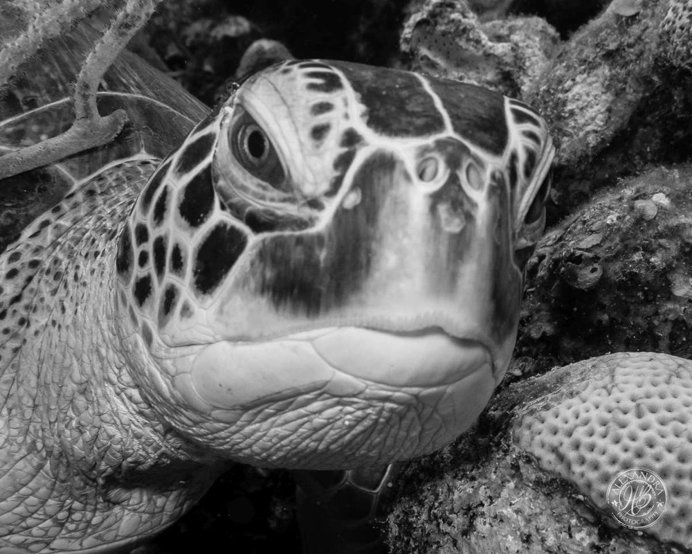 Turtle facing cu bw Aug '14 (1 of 1).jpg