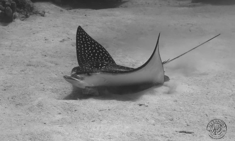 an eagle ray playing in the sand in roatan