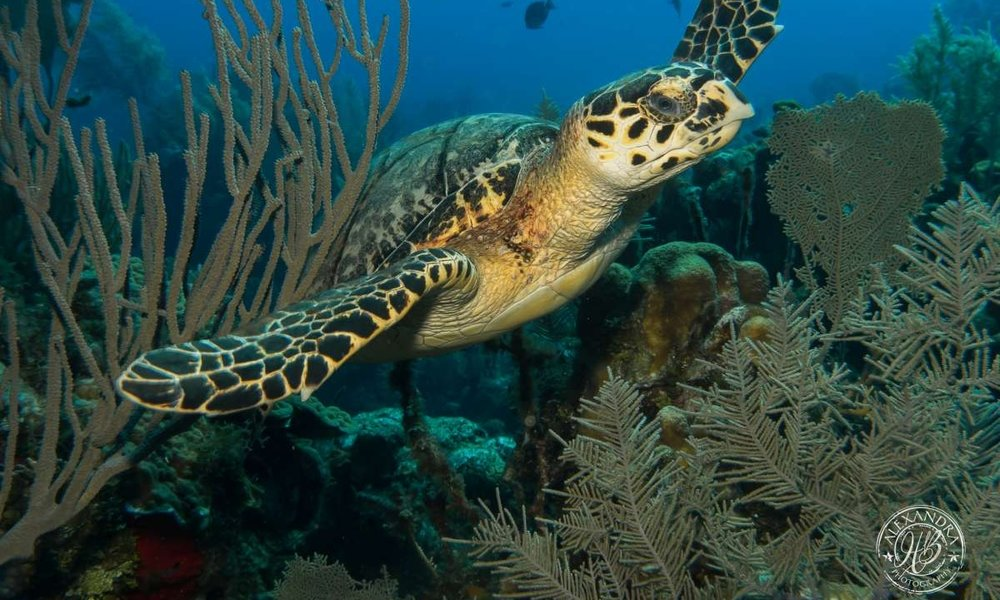 a diver swimming along the reef in roatan, honduras